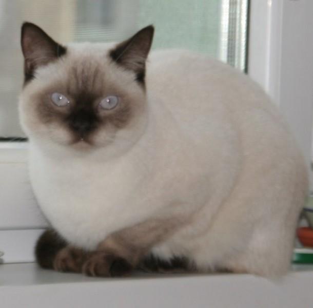 Sk britská mačka b33 colorpoint s čokoládovými odznakmi mačka 5589ff8581e